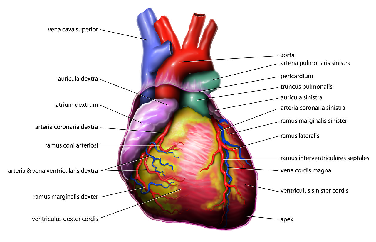 Anatomy_Heart_Latin_Tiesworks