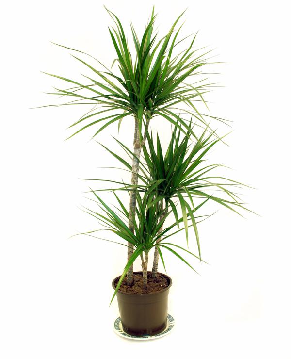 12 pflegeleichte zimmerpflanzen die am besten giftige chemikalien aus der luft entfernen. Black Bedroom Furniture Sets. Home Design Ideas