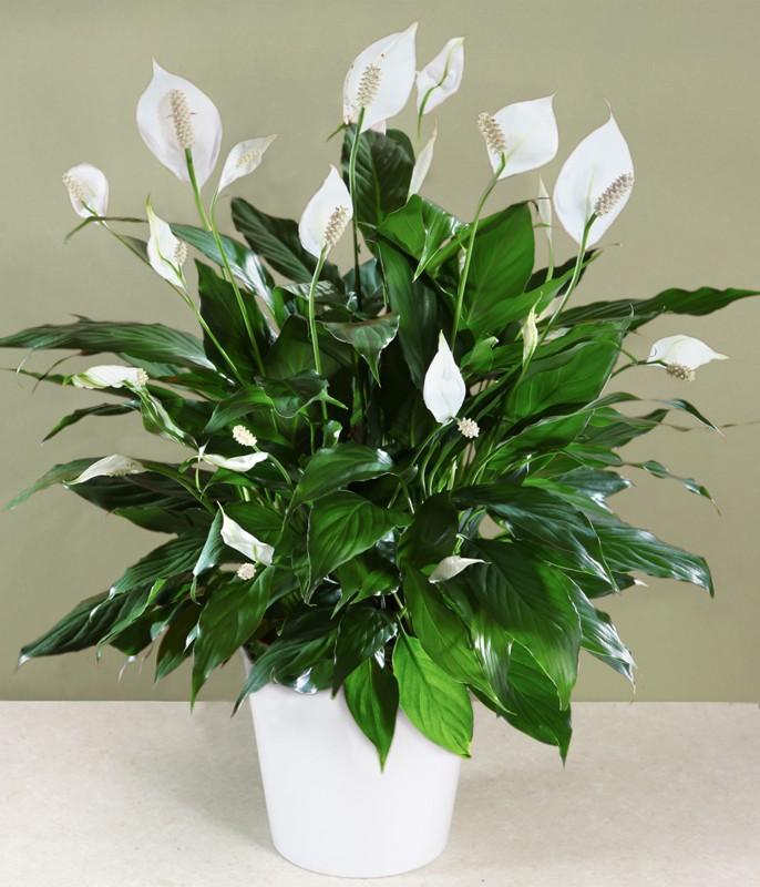 Zimmerpflanzen Schattig 12 pflegeleichte zimmerpflanzen die am besten giftige chemikalien