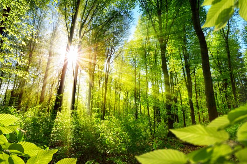 Sonnenbeschienene Laubbäume im Wald