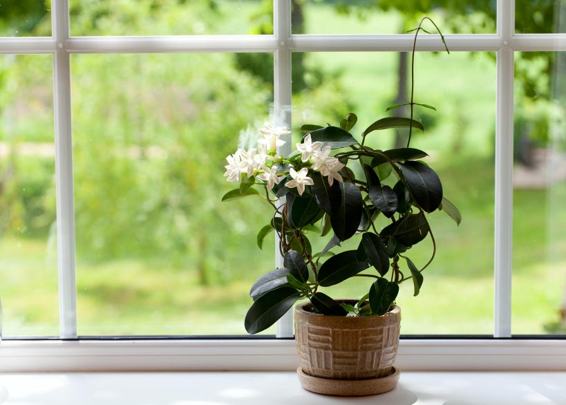 Jasmin Ist Eine Pflanze, Die In Wärmeren Klimazonen Vorkommt. Sie Ist Aber  Auch Drinnen Gut Aufgehoben, Solange Sie Genügend Tageslicht Bekommt.