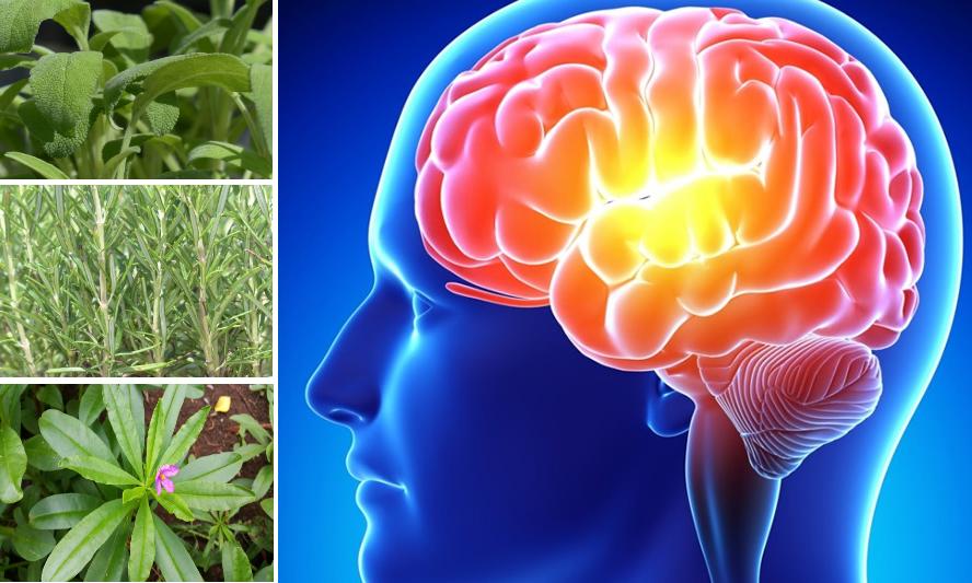 Die 18 wirksamsten Heilpflanzen für das Gehirn ...