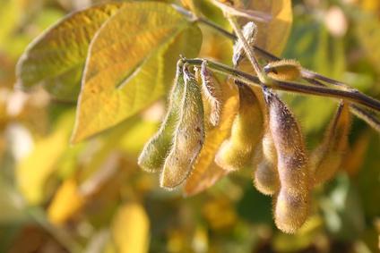 pianta di soia con bacelli