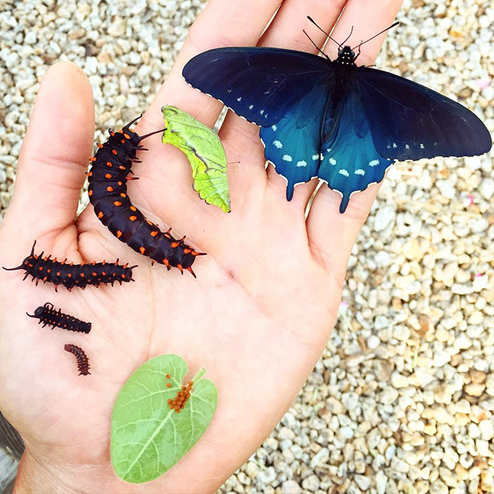 rare-blue-swallowtail-pipevine-butterfly-repopulation-tim-wong-10
